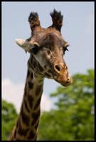 Giraffa camelopardalis by taco-chipz