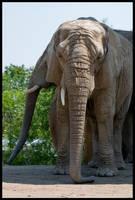 Elephantidae by taco-chipz