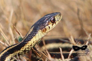 Snake in the grass by coldstares