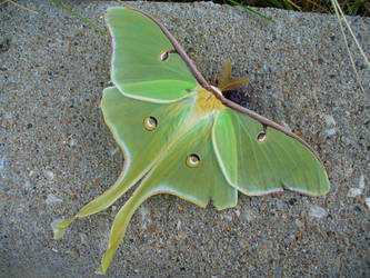 luna moth by zephyrofgod