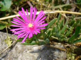 mystery pink flower by zephyrofgod
