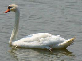 Swan Stock I by zephyrofgod