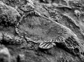 Devonian Period Fossil XX by angelicque