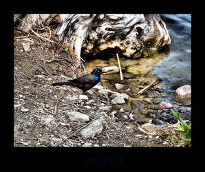 Grackle by angelicque