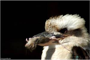 Kookaburra by fotoguerilla