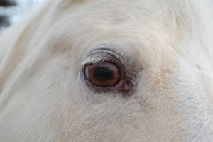 Champagne Horse Eye 2 by escapist1901