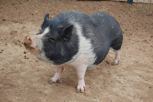 Pot Bellied Pig 02 by escapist1901