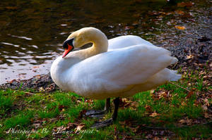 The Lone Swan 0069 by TommyPropest-Candler