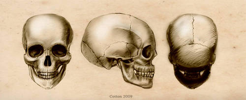 Skull study by CottonValent