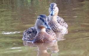 ducks 6 by smevstock