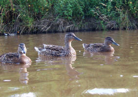 ducks 7 by smevstock