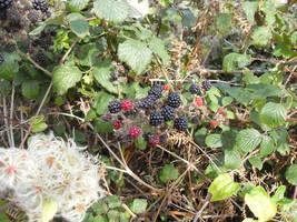 Still more blackberries ! by MakinMagic