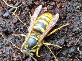 Wasp by MakinMagic