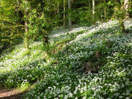 Wild garlic in bloom 15 by MakinMagic