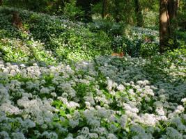 Wild garlic in bloom 19 by MakinMagic