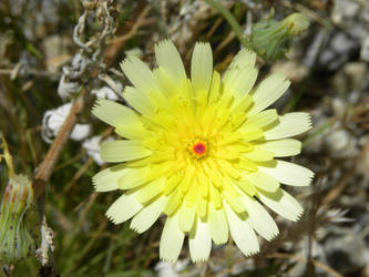 Desert Flower by planeteleven