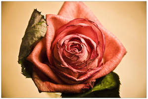 Dying rose. by BenTich