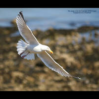 Sea Gull over Swansea by GMCPhotographics
