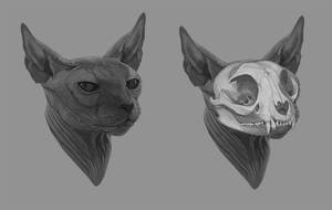 Anatomic Study - Sphynx cat's Skull by amanana