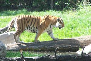 Le Tigre by snowpuff