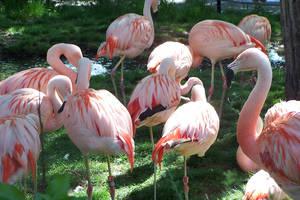 Flamingo by snowpuff