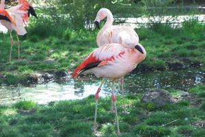 Flamingos II by snowpuff