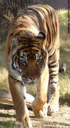 Tiger 1 by ursulav