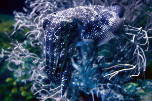 Cuttlefish by Shooter1970