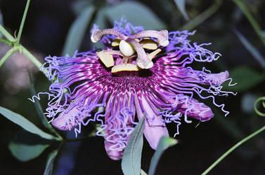 Passionflower by KerriTullius