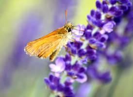 butterfly on lavender by mirtek