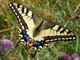 Papilio machaon (1) by starykocur
