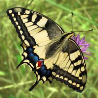 Papilio machaon (2) by starykocur