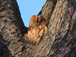 Sunbathing owl by starykocur