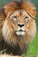 Lion I by Aztil