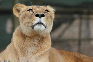 Lioness by Aztil