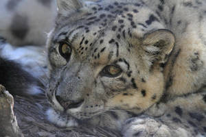 Snow Leopard I by Aztil