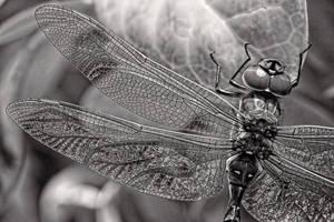 Dragonfly by Aztil
