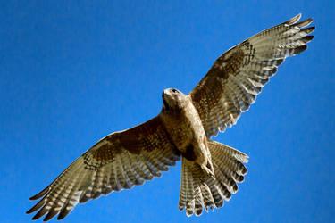Brown Falcon by Aztil