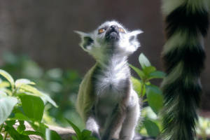 Baby Lemur by Aztil