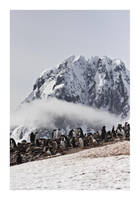 Gentoo Penguins by MadHatterVVVI