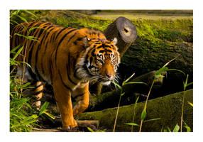 Tiger by MadHatterVVVI