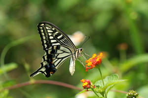 Papilio xuthus V by fire