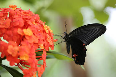 Papilio protenor by fire