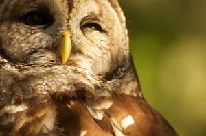 Barred Owl by BlueFlamedPhoenix