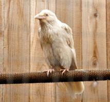 Rare white raven 1 by DarkBeforeDawn23