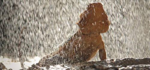 Beardie showering by damir-g-martin