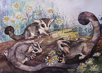 Sugar Gliders by Himmis