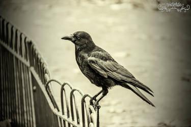 The Black Bird by Wintertale-eu