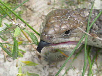 Blue-tongued Lizard by apocathary