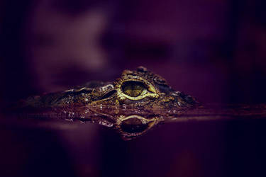 caiman crocodilus by SaintSazzle